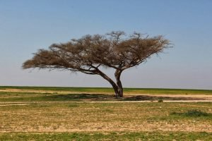 Acacia tree. Photo by Ilana Bar Cochva